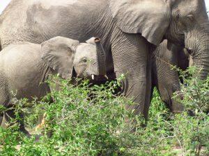 פיל בטנזניה